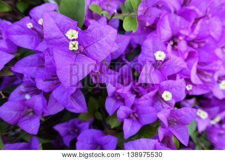 purple bougainvillea on morning in bangkok t