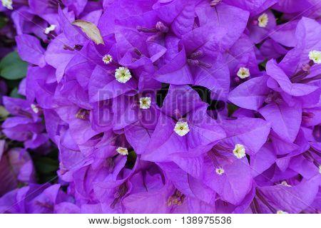purple bougainvillea on morning in bangkok thai