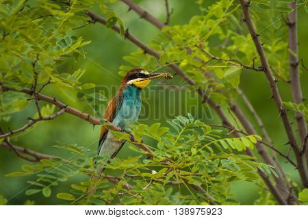 European bee-eater or Merops apiaster seats on a twig
