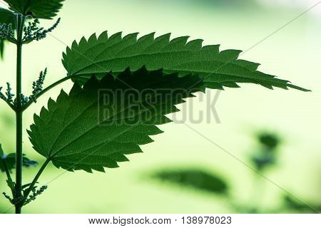 Backlit stinging nettle (Urtica dioica) leaves. Plant in the failmy Urticaceae showing jagged toothed edges to leaves and green flowers