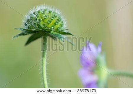 Field scabious (Knautia arvensis) flower bud. Unopened inflorescence of flowers of plant in the family Caprifoliaceae in bloom in a British meadow
