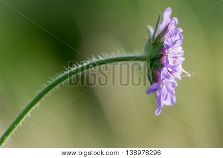 Field scabious (Knautia arvensis) flowers. Purple flower of hairy plant in the family Caprifoliaceae in bloom in a British meadow