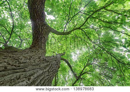 Underneath the canopy of of a mature catalpa tree.