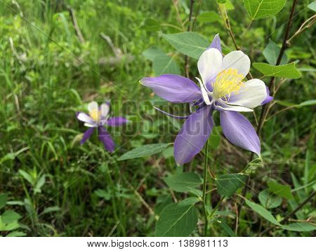 Purple Colorado Columbine wildflowers Aquilegia Coerulea grow on the side of Pikes Peak mountain in Colorado Springs CO during summertime. It is the state flower of Colorado.