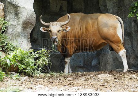 Banteng or Red Bull were standing eating grass.