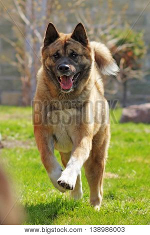 happy dog breed Akita inu is running in the summer right at the camera