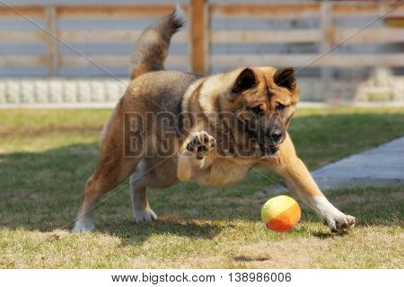 dog breed Akita inu plays outdoors with a ball hitting it with a paw