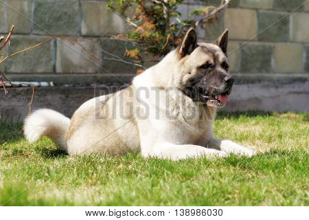dog breed Akita inu lies on the grass in the summer resting in the heat sticking his tongue out