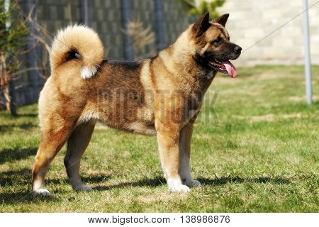dog breed Akita inu stands sideways to show the position in the summer outdoors