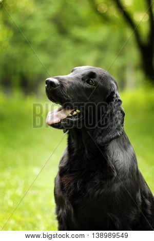 black dog flat-coated Retriever summer outdoors looking in anticipation of the team portrait closeup