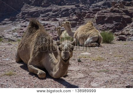 Camel On The Hill. Ancient City Petra, Jordan