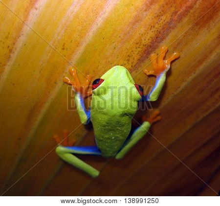 Red eye tree frog climbing up banana leaf.