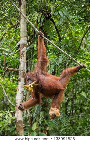 Funny female orangutan hanging on a rope with a banch of bananas and coconut in Semenggoh Nature Reserve, Sarawak, Borneo, Malaysia