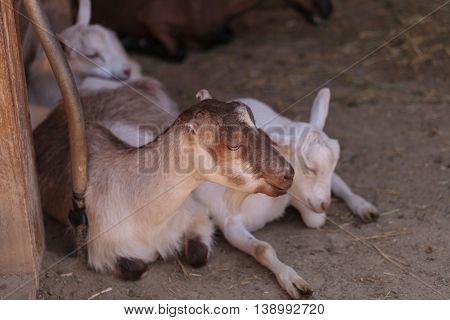 Alpine Goat, Capra aegagrus hircus, in a barn on a small farm in summer.