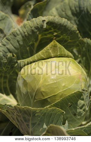 Fresh cabbage grows on a small organic farm in a Southern California garden.