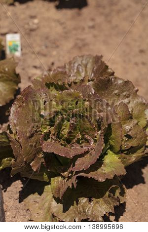 Freckle lettuce grows on a small organic farm in a Southern California garden.