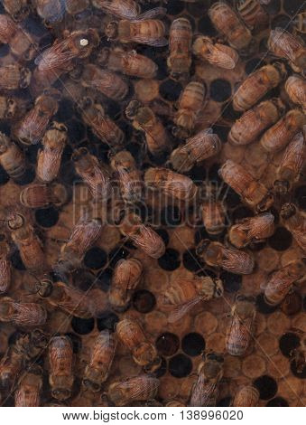 Honeybees, Apis mellifera, kept by a beekeeper for honey. The queen is marked by a white dot so that the keeper may track her.