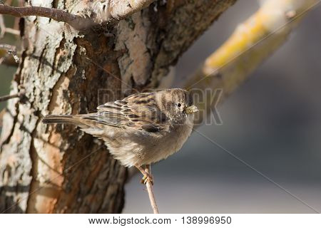 sparrow on a tree branch close up