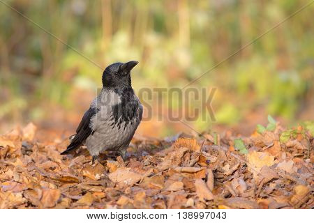 portrait of crow on the autumn leaves