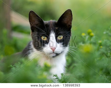 Black and white cat in the green grass. In cat muzzle sitting mosquito