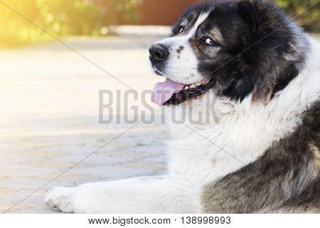 Adult Caucasian Shepherd dog in the yard