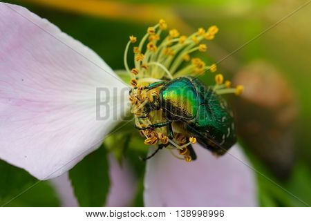 green chafer climb on the pink rose petal (Cetonia aurata). Rose chafer in a pink rose