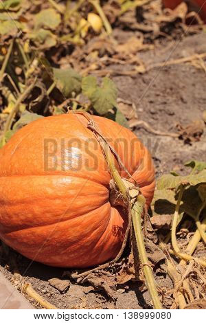 Pumpkin growing in an organic garden pumpkin patch in spring in Southern California.