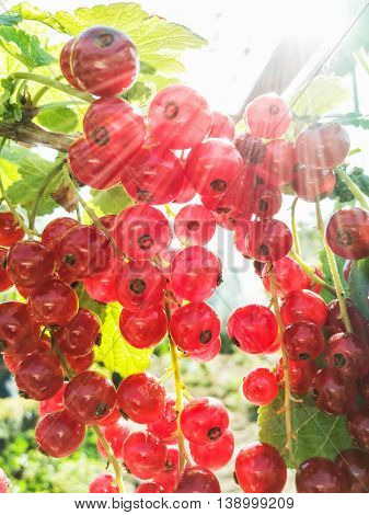 Juicy red currants in the garden. Fruit picking. Healthy food. Sun rays. Vibrant colors. Seasonal natural scene.