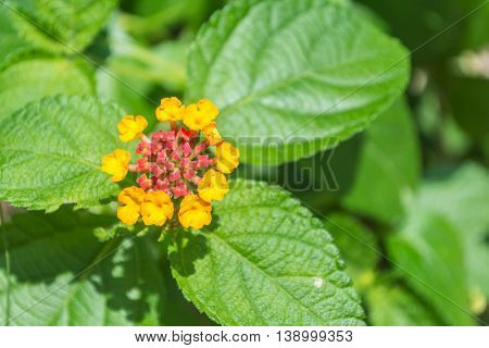 Beautiful yellow Weeping lantana with green leaves in sunshine day.
