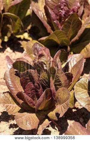 Romaine lettuce grows on a small organic farm in a Southern California garden.