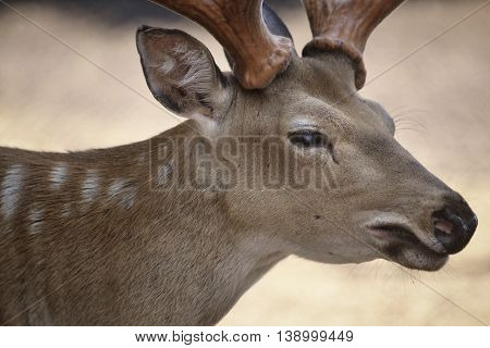 snout spotted deer with horns closeup in profile