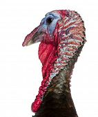 Close-up of Wild Turkey, Meleagris gallopavo, in front of white background