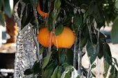 image of frostbite  - Oranges covered in icicles after overnight freeze - JPG