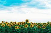 Summer Sunflower Field. Field Of Sunflowers With Blue Sky. A Sunflower Field At Sunset. poster