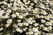 Small White Daisies poster