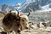 image of yaks  - yak in Himalaya - JPG
