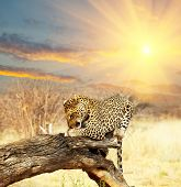 leopard on tree at dawn