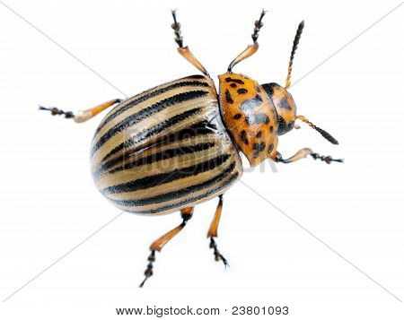 Colorado Potato Beetle - Leptinotarsa Decemlineata, Macro