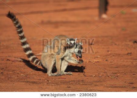 Ring Tailed Lemurs At Berenty Reserve
