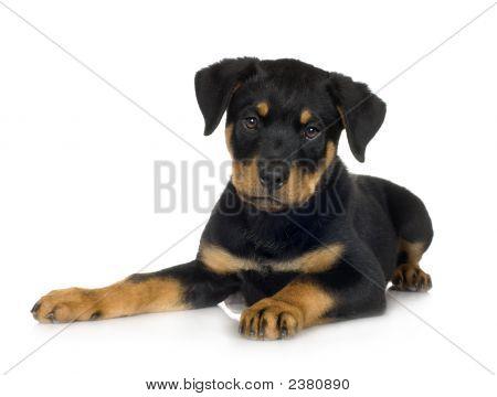 Rottweiler (3 Months)