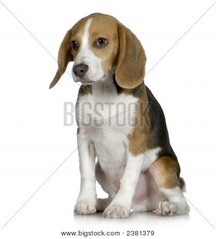 Beagle (5 Months)