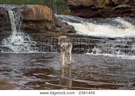 Gray Wolf Kreuzung river