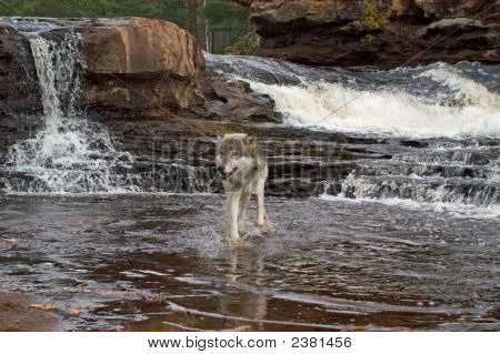 Gray Wolf cruce río