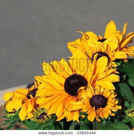 Pretty Blackeyed Suzie Flowers