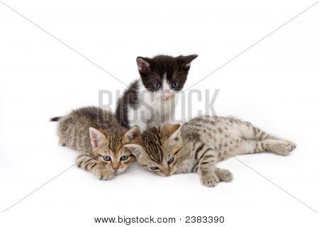 Three Kitten Brothers (5 Weeks)