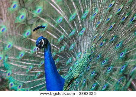 Peacock'S Beautiful Courtship