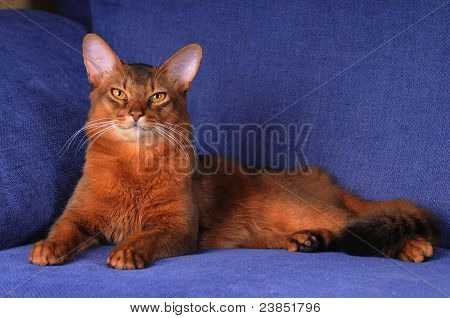 Portrait Of Somali Cat Lookin At Camera