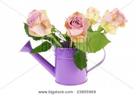 Bouquet purple roses in watering can isolated over white background