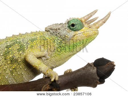Close-up of Mt. Meru Jackson's Chameleon, Chamaeleo jacksonii merumontanus, partially shedding in front of white background