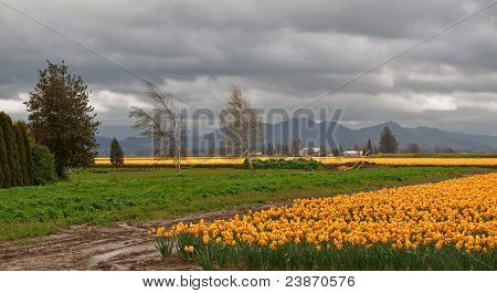 Stormy Spring Day Of Large Daffodil Field In Laconner, Washingto